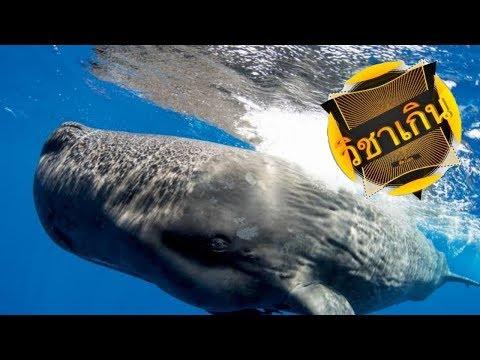 สารคดี วิชาเกินสัตว์โลก ep.10 วาฬสเปิร์มกับไขมันที่หายไป