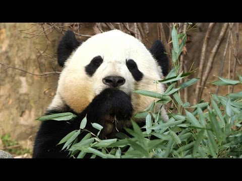 China Takes Back Its Panda, in Secret Soft Power Plot | China Uncensored