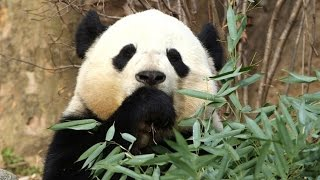 China Takes Back Its Panda, in Secret Soft Power Plot