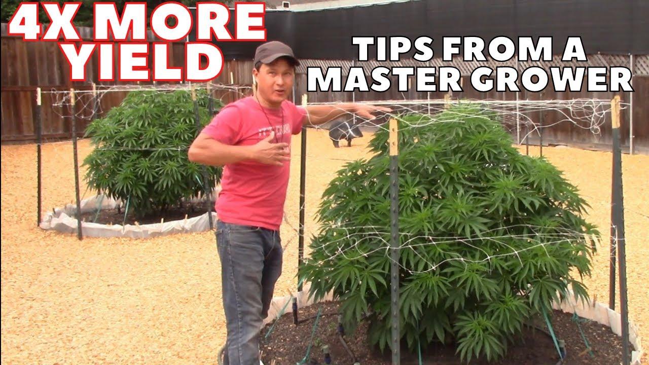 Download Master Grower Reveals Secrets to Quadruple Cannabis Yield