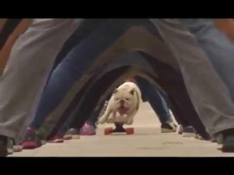 Бульдог-скейтбордист попал в Книгу рекордов Гиннесса, проехав через тоннель из человеческих ног