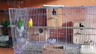 LOVEBIRD DI DALAM PETERNAKAN PAKAI SISTEM KANDANG BOX(KANDANG KOTAK)