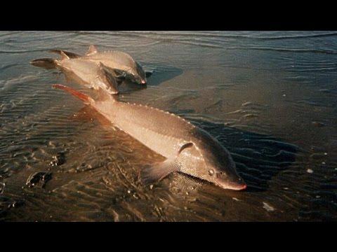 рыбалка 3 подкаменная тунгуска стерлядь сибирская