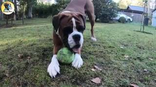 Silly Boxer Dog Rex Growling And Playing In The Garden
