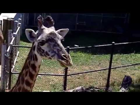 Feeding the giraffes at Cleveland Metroparks Zoo