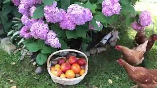 Спасаю рассаду томатов / ещё не поздно всё исправить
