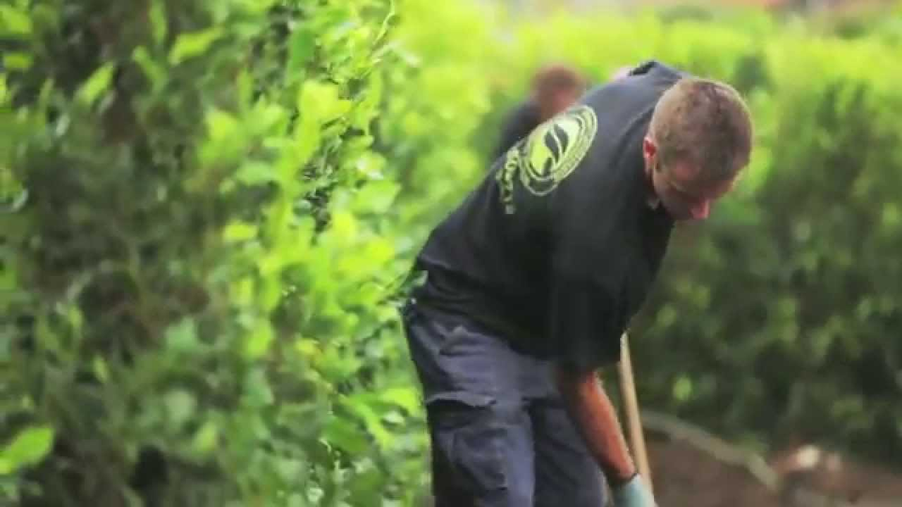 build a hedge planting living walls instant hedges youtube