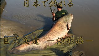 日本で釣れる巨大魚達 -淡水編-  巨大魚釣り ターゲット一覧