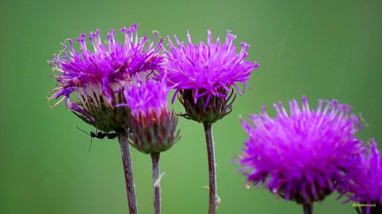 Полевые цветы п де сенневиль