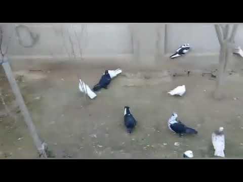 Elcanin Göyercinleri Pigeon Baku