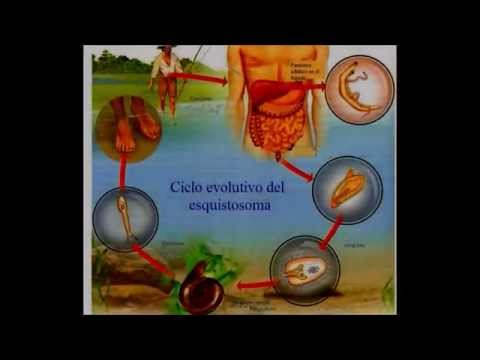 Schistosoma Mansoni | Equipo 8