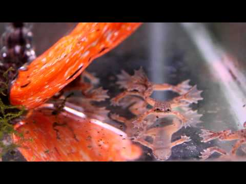 African Dwarf Frogs Singing