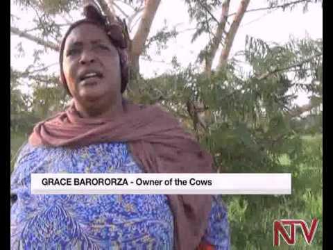 Buliisa Police impounds hundreds of cattle