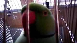 Мой попугай Платоша мяукает:) (малый попугай крамера)
