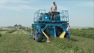 Haskap Berry Farming