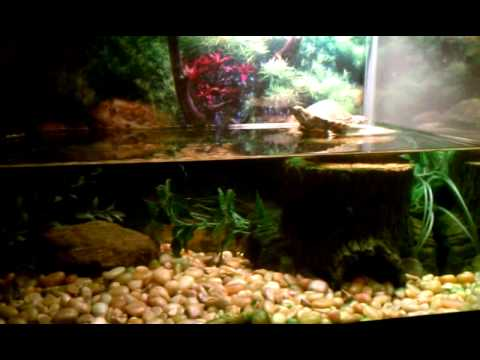 Red Eared Slider Turtle Update 10 Gallon Tank YouTube
