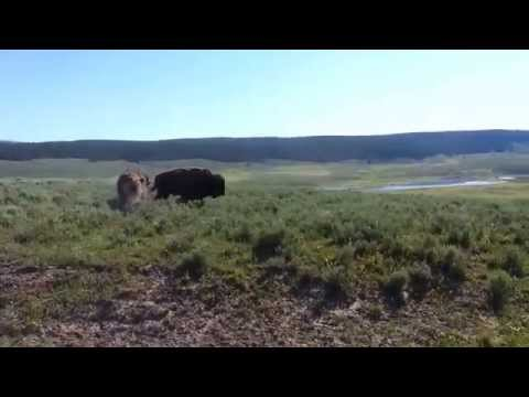 Yellowstone Haden Valley Bison