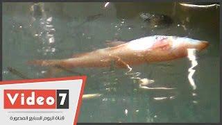 """بالفيديو..نفوق 200 """"سمكة زينة"""" ب حديقة الأسماك بالزمالك لعدم تغيير المياه منذ 15 يوما"""