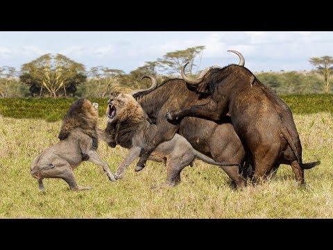Buffalo Escapes Lion   Buffalo Herd Save Fellow From Lion Pride Hunting