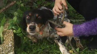 Abandoned hunting dog found terrified and tied in a tree.