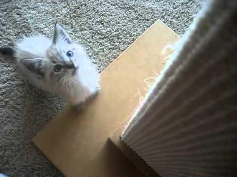 Lynx Point Kitten 8 Weeks