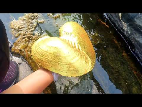 Download Wild golden pearl oyster! After the mountain torrent, the girl caught the rare golden shell.gold