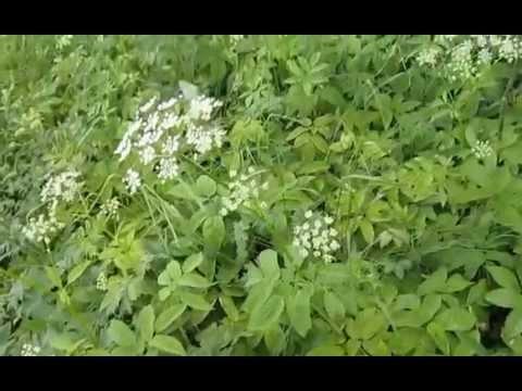 Трава сныть: ее фото, лечебные свойства и противопоказания