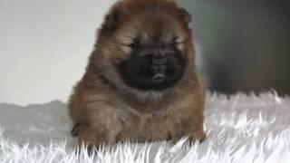 子犬販売アットブリーダーで販売中!http://www.at-breeder.net/