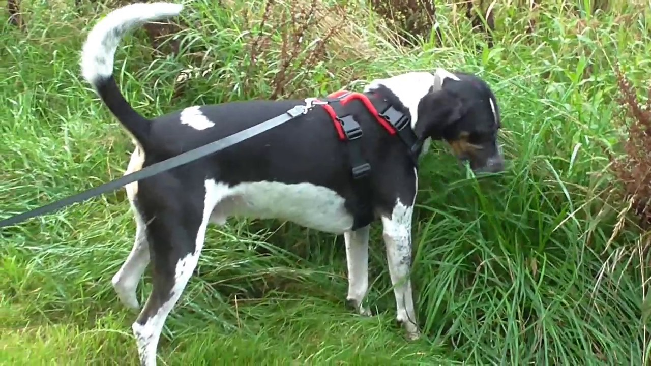 dog harness  perfect fit     dog harness    trailhound test youtube   perfect fit     dog harness    trailhound test youtube