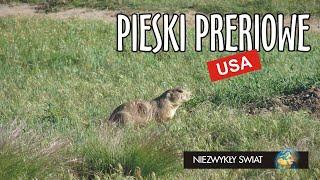 Niezwykly Swiat - USA - Pieski preriowe