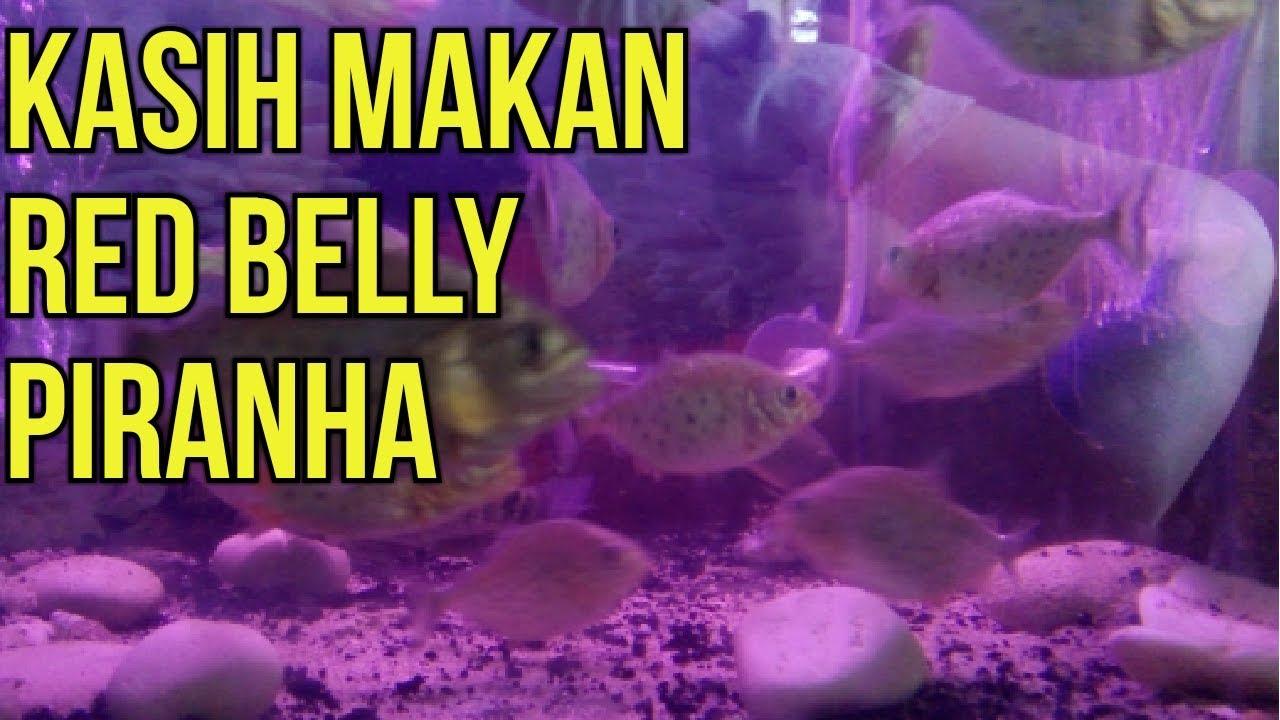 Kasih Makan Red Belly Piranha Pake Ikan Mas Kecil Youtube