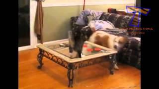 Собак и кошек в первой встрече   Милые и смешные собаки и кошки компиляции(, 2014-03-06T10:59:10.000Z)