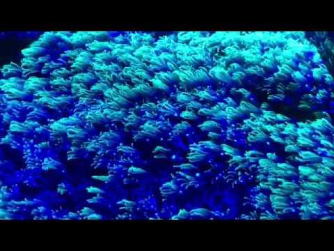 Green star polyps under blue lights YouTube