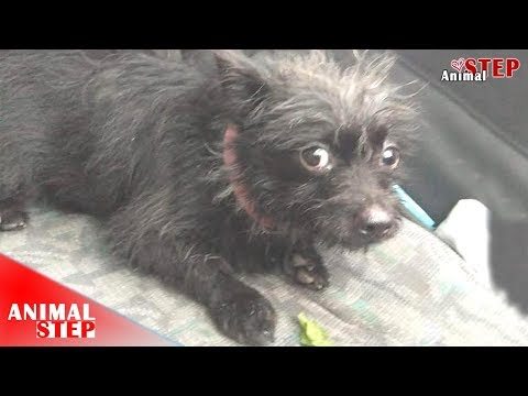 Scared Puppy rescued from the Garbage Getting New Sweet Life again
