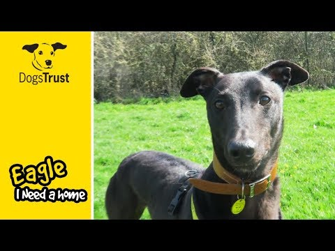 Ex-Racing Greyhound, Eagle, is Looking for a New Home! | Dogs Trust Bridgend