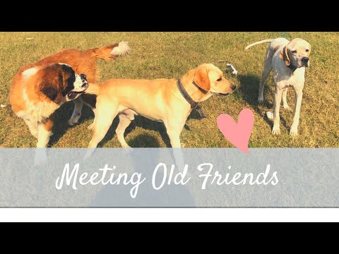 Saint bernard Meeting old friends English pointer and labrador
