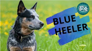 Blue Heeler   Guide for Australian Cattle Dog Owners