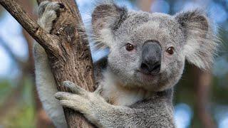 Gaming For Koalas - Emergency Charity Stream Marathon!