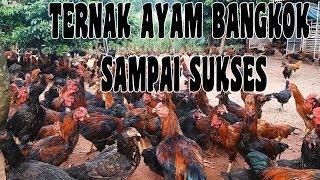 Gambar cover TIPS DAN CARA TERNAK AYAM BANGKOK SAMPAI SUKSES