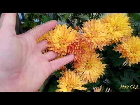 Коллекция хризантем и петунии Анны.  70 сортов хризантем!!!!