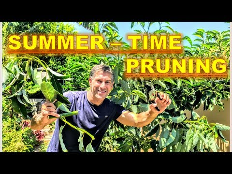 IT'S SUMMER PRUNING TIME!! Manage Fruit Tree Vigor To Increase Strength & Light & Low Growing Fruit!