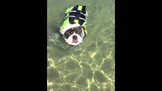 Bulldog Puppy Learns To Swim In Lifevest!