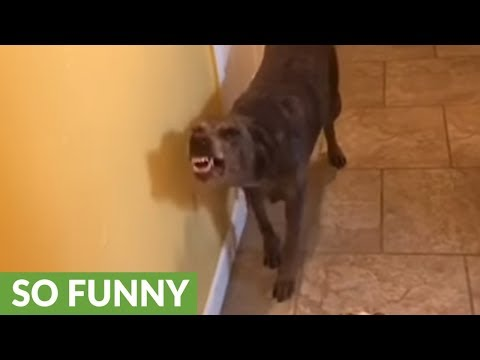Extremely guilty dog can't keep a straight face