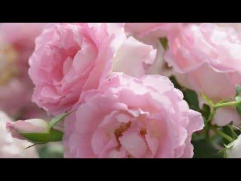 Сад роз. Розы через интернет будьте осторожны!