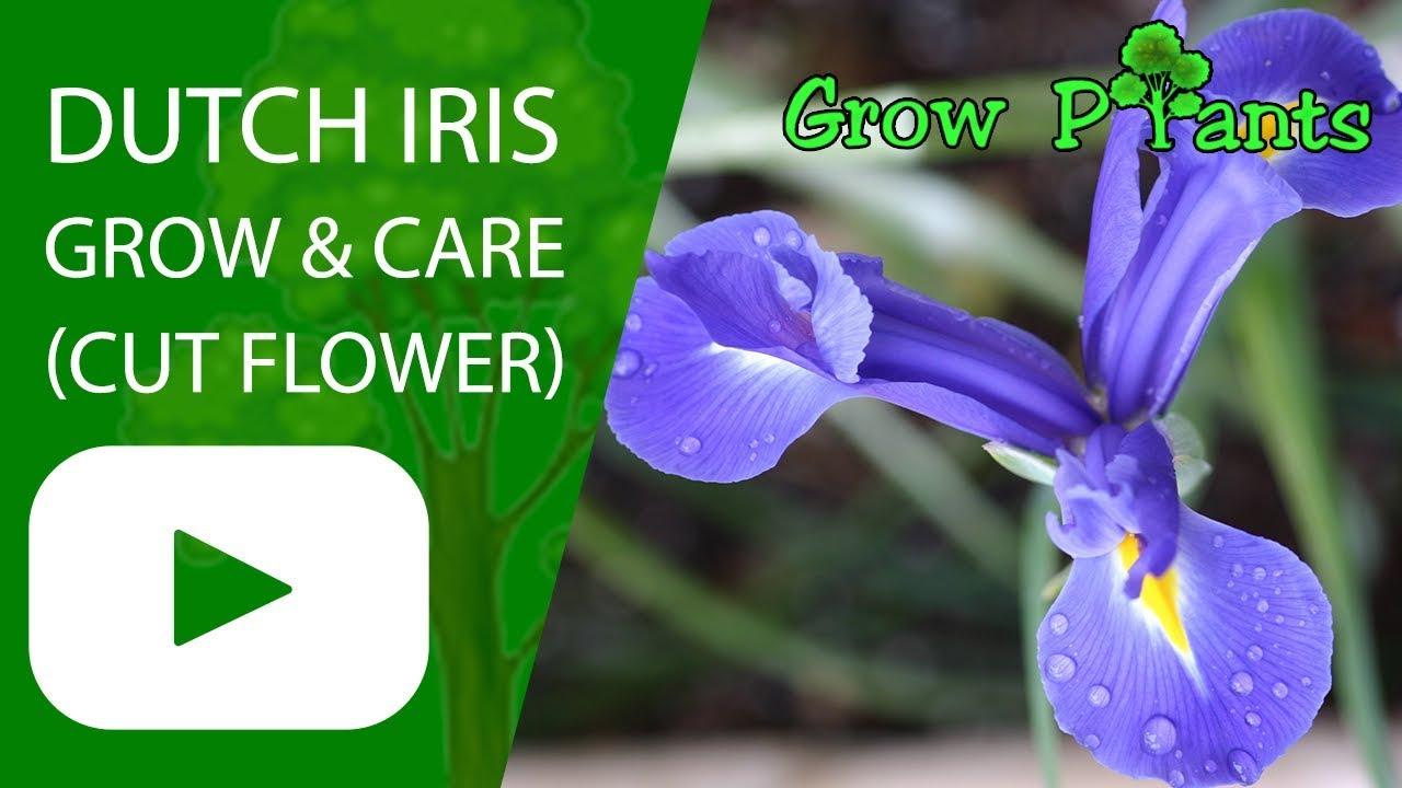 Dutch iris growing care for cut flower youtube dutch iris growing care for cut flower izmirmasajfo