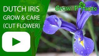 Dutch Iris - growing & care for cut flower