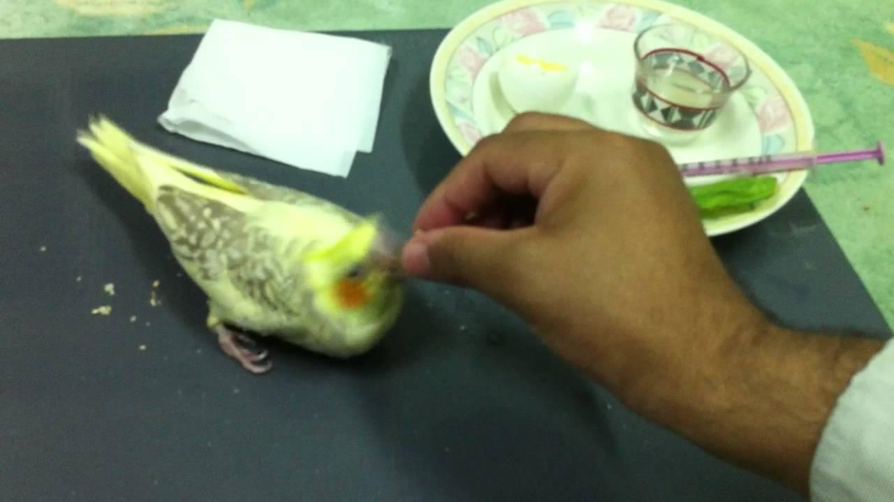طريقة غر وإطعام فروخ الكروان Cockatiel Feeding Youtube