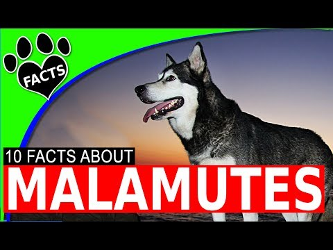 Alaskan Malamute Dogs 101 10 Giant Fun Facts and Information #alaskan_malamute