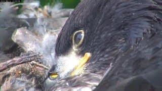 Mnbound Eagles Peace & Oriole Neighbor 6-14-13