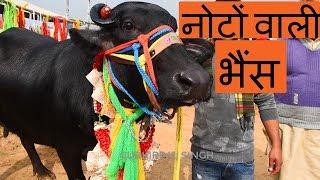 Murrah buffalo for sale @ Kurali Mandi Punjab Feb 2019